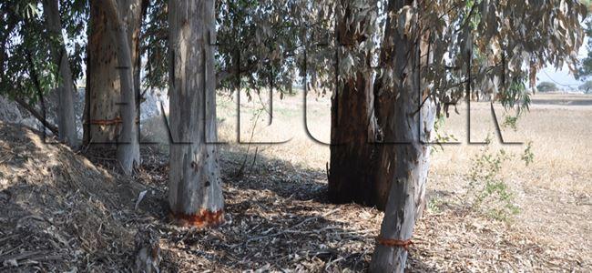 Gönendere'de ağaç katliamı