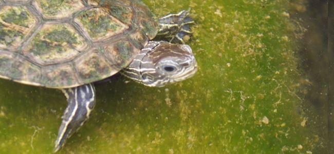 Sivrisinekle mücadele kaplumbağalara zarar verdi