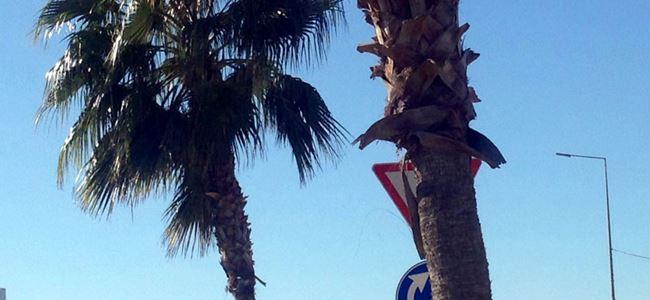 Gönyeli'de hurmalar ve palmiyeler koruma altında