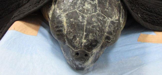 Dev yeşil kaplumbağa tedavi ediliyor