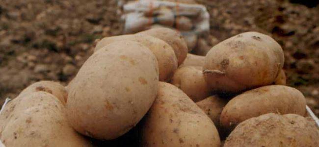 Patates başvuruları başladı
