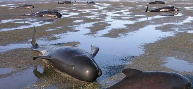 Yeni Zelandada 200 balina karaya vurdu