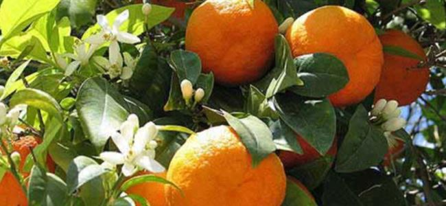 CYPFRUVEX portokal için başvuru kabul edecek