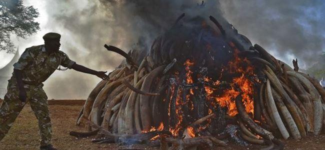 15 ton fildişi yakıldı