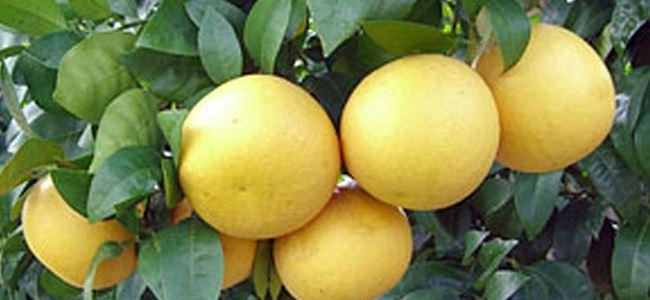 Greyfrut ödemeleri yarın yapılıyor