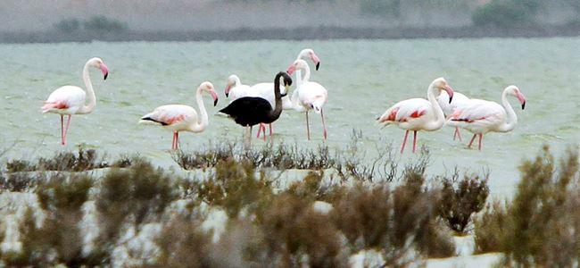 Kıbrıs'ta siyah flamingo