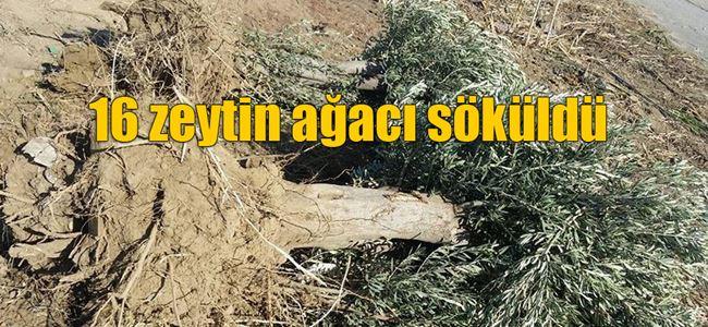 Yayla'da ağaç katliamı