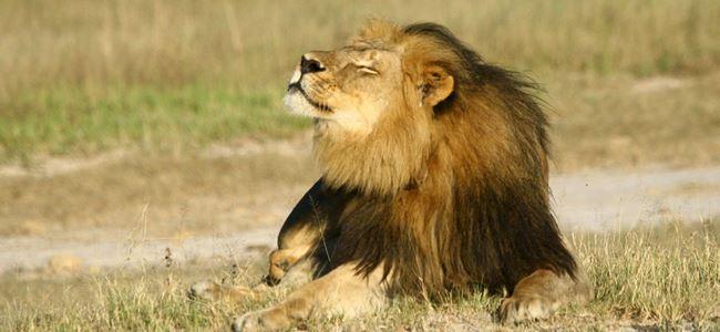 Zimbabvede yeni bir Cecil vakası