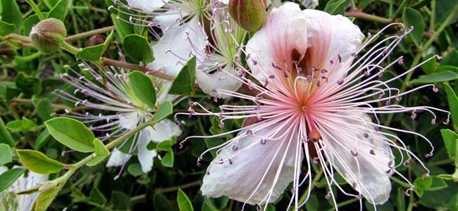 Kıbrıs'a özgü süs bitkileri kayıt altına alınıyor
