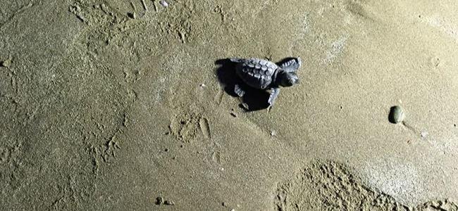 Yavru Caretta Caretta'lar denize bırakıldı