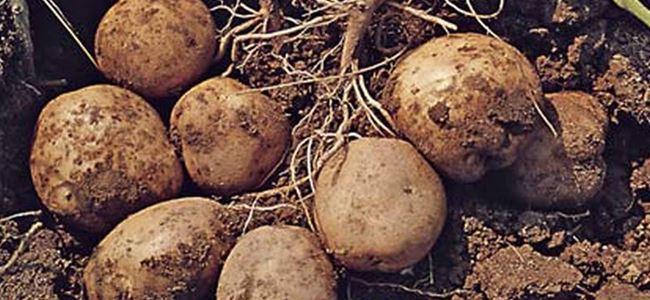 Patates üreticisine zarar tazmini