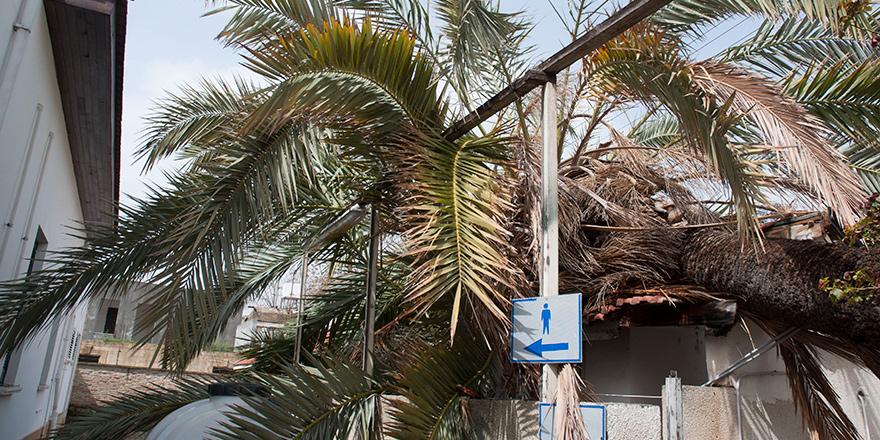 Mahkeme binasındaki hurma ağacı devrildi