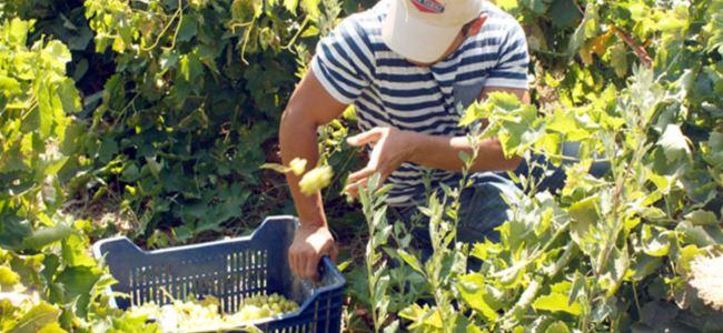 50 ton üzüm imha edildi