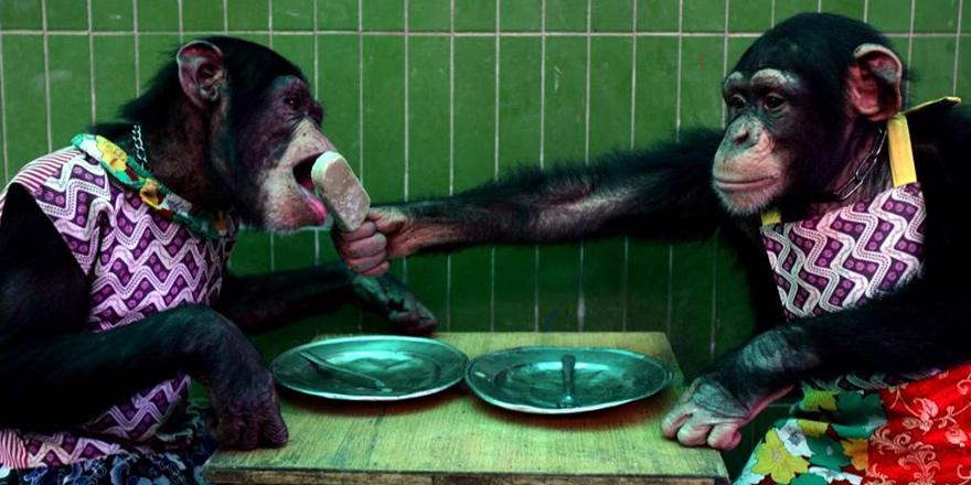 Hukuk mücadelesi şempanzeler için olumsuz sonuçlandı