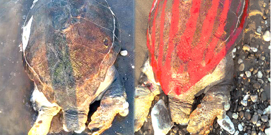 Deniz kaplumbağası işkence yapılarak öldürüldü