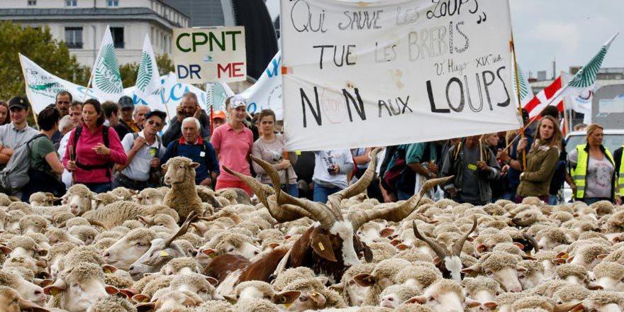 Binlerce koyun kurtları protesto etti
