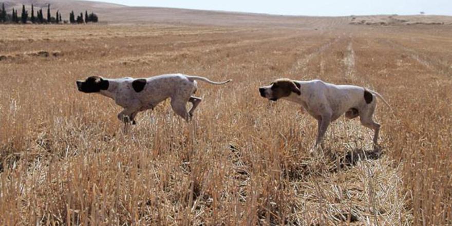 Limasol'da çalınan av köpeklerinin bir kısmı kuzeyde bulundu
