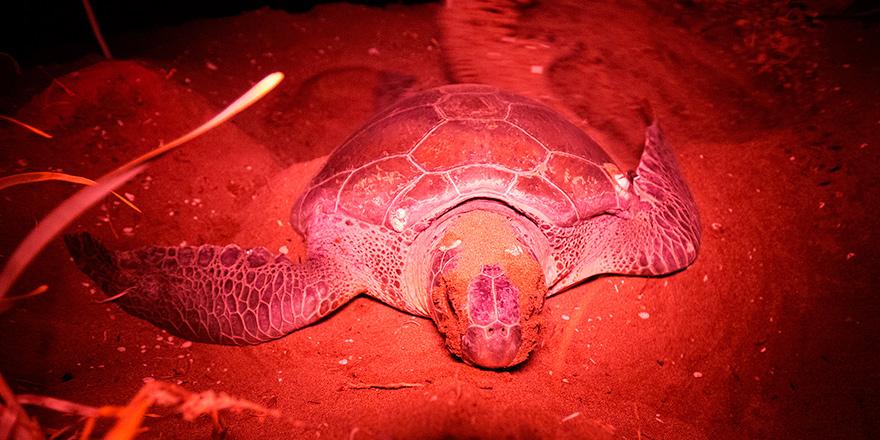 Kaplumbağaların yumurtlamasına tanıklık