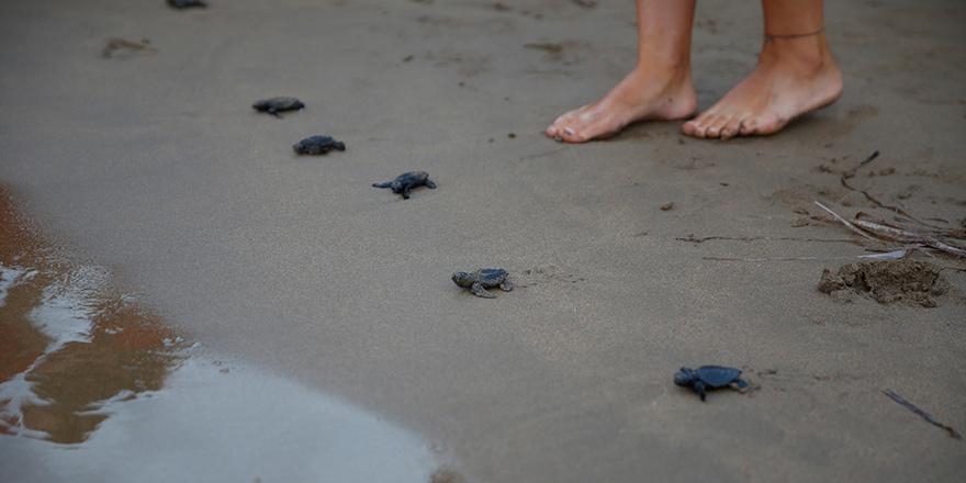 Yavru kaplumbağaların  denizle buluşma anı