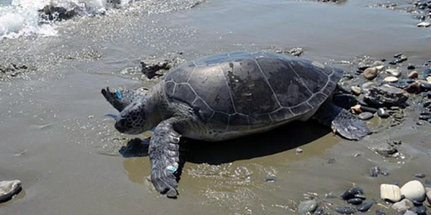 Limasol'da yaralı kaplumbağa tedavi edildi