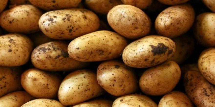 Hastalıklı patatesler imha edildi