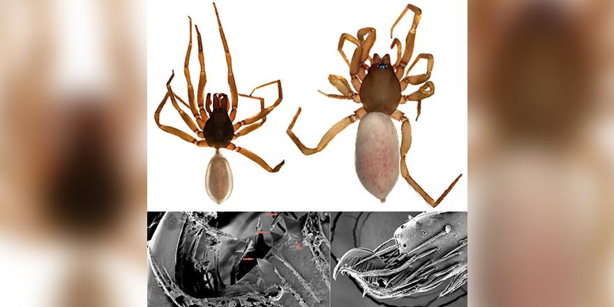 YDÜ araştırmacıları Kıbrıs'a özgü yeni bir örümcek türü keşfetti…