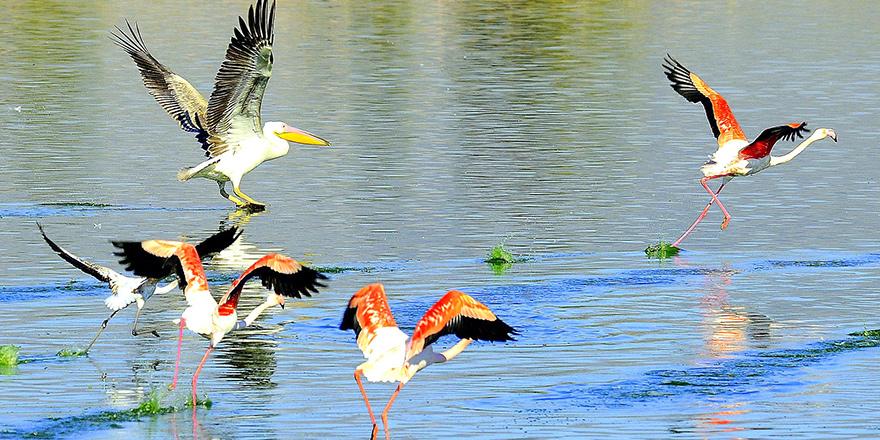 Flamingo ve pelikanlar Haspolat'ta