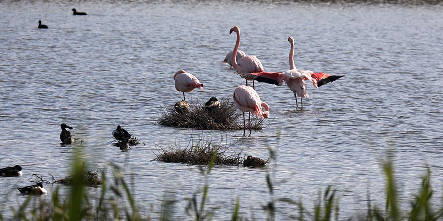 Larnaka'da flamingolar büyüledi