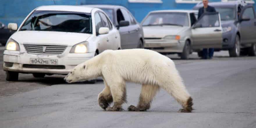 Aç kutup ayısı şehre indi