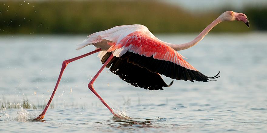 Siz hiç flamingo gördünüz mü?