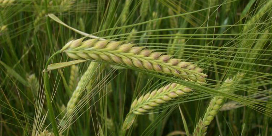 Nem ve sıcaklık, tahıl alanlarına hastalık getirdi