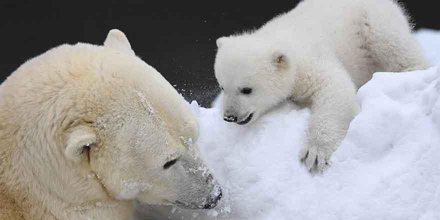 Dünya Kutup Ayıları Günü kutlu olsun!