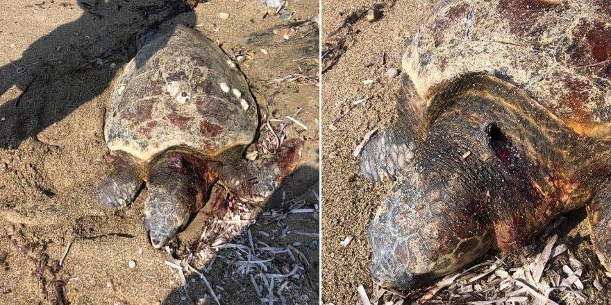 Bir kaplumbağa daha ölü olarak bulundu