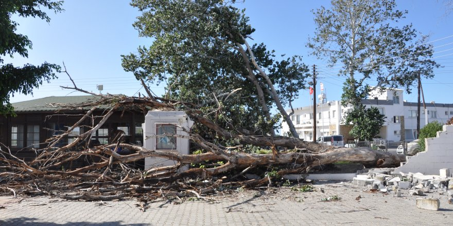 Tarihi kavak ağacı aşırı rüzgardan devrildi