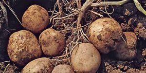 Patatesler imha edilecek