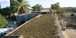 Ziraat Mühendisleri Odası, zeytin üreticilerine damla sulama ve gübreleme eğitimi düzenliyor