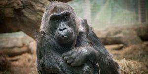 Dünyanın en yaşlı dişi gorili  öldü.