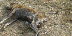 Mağusa'da köpekleri zehirlediler!