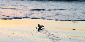 Yavru kaplumbağalar denizle buluşacak
