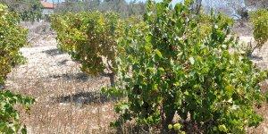 Üzüm üreticisi: Üretim maliyeti iki kat arttı