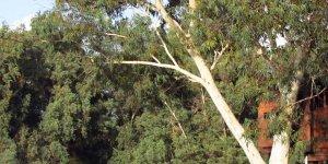 Kampçıların başına ağaç dalı düştü, 3 yaralı