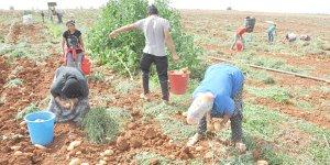 Yeşil Hat Ticareti'nde patateste % 74 gerileme