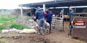 Karpaz'da 'çiçek hastalığı' kabusu:  100 hayvan can verdi
