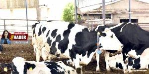 Süt üretimi % 30 azaldı