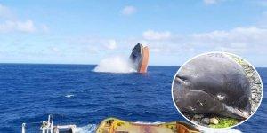 Petrol sızıntısının yaşandığı Mauritius'ta en az 13 ölü yunus bulundu