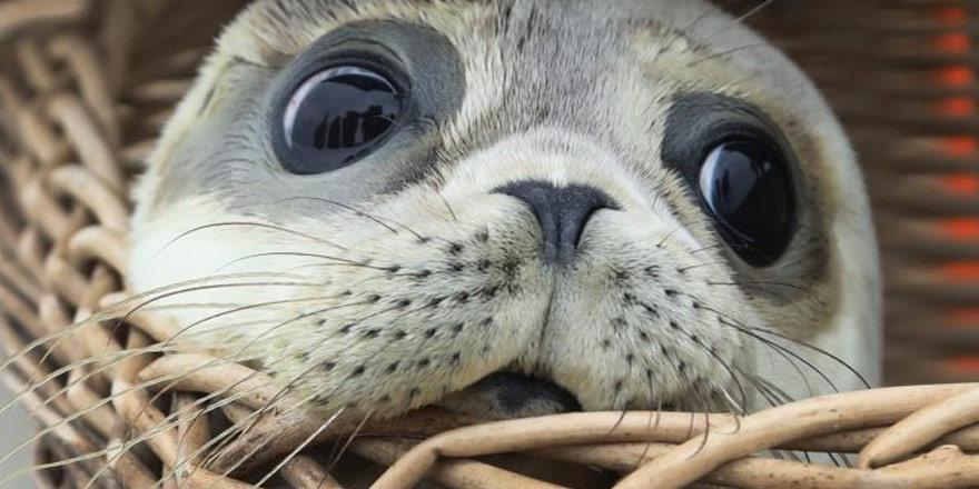 Ada'daki Akdeniz foku nüfusunda artış