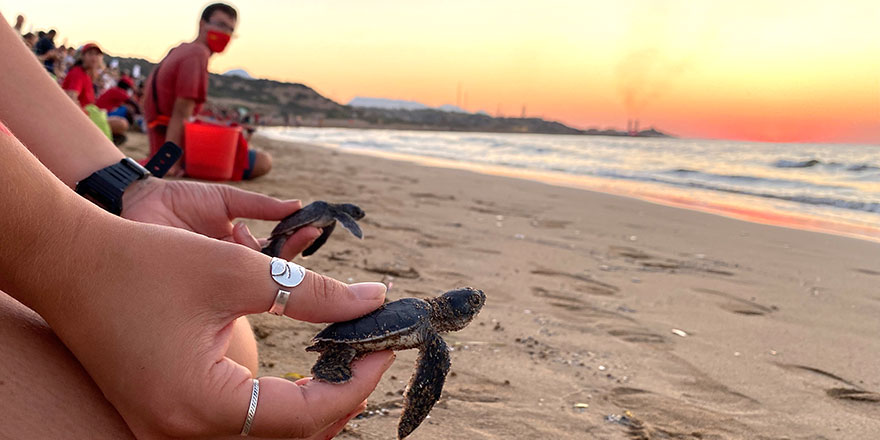 Yüzlerce yavru Caretta Caretta,Akdeniz'e doğru ilk kulaçlarını attı