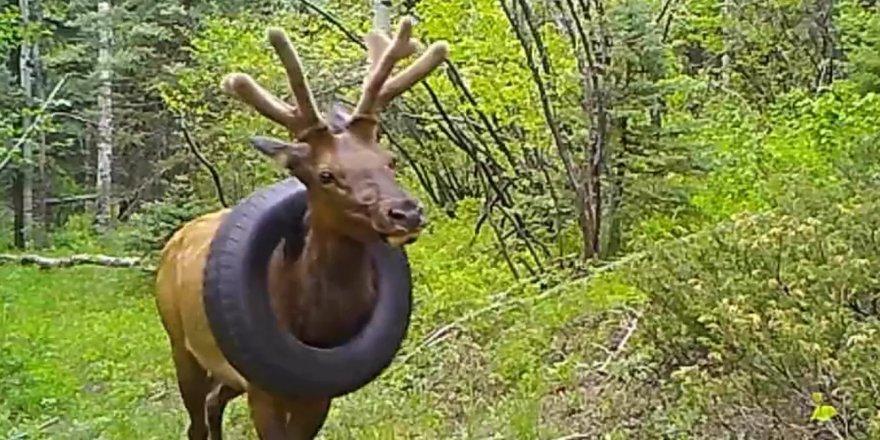 2 yıldır boynunda araba lastiğiyle gezen geyik kurtarıldı