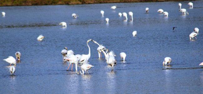 Mağusada flamingo şöleni