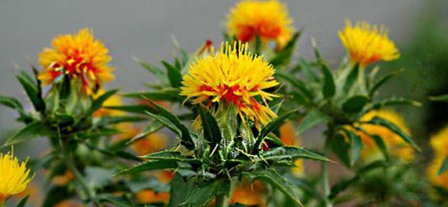 Aspir bitkisi üretilecek